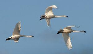 Tundra swans migrating