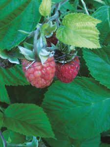Raspberry plants are easy to grow edibles