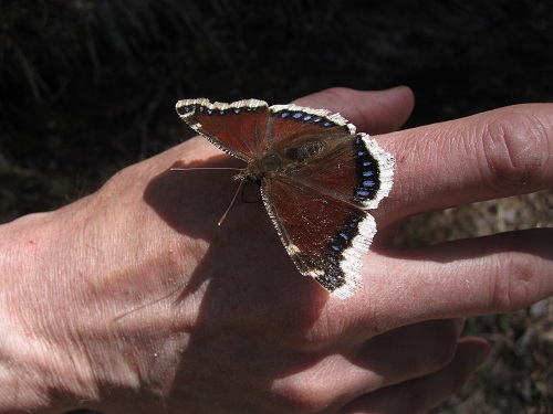 Mourning cloak butterfly. Photo: Crystal Gartner