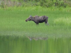 Try to photograph a moose, deer, and coyote within the city limits of Spokane (wildlife hat trick!).