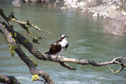 Osprey perched on a tree branch above the Spokane River.
