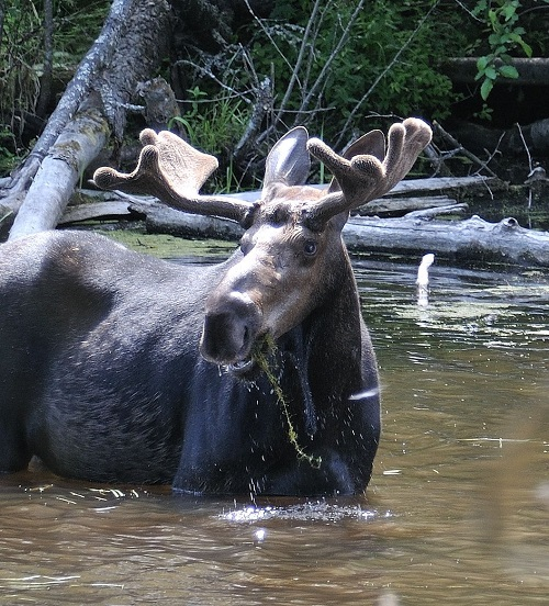 Munching moose. Photo: Gary Kok, courtesy of Friends of The Little Pend Oreille National Wildlife Refuge
