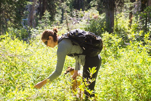Sampling huckleberries on the way to St. Joe Lake. Photo: Aaron Theisen