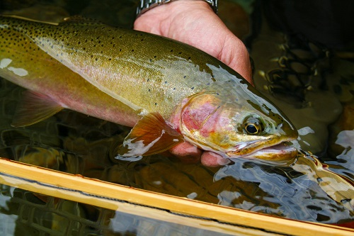 A healthy 18 inch Westlope cutthroat typical of the North Fork. All photos courtesy of David Uhlenkott