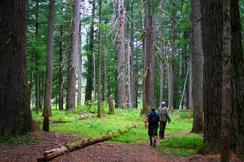 Old growth forests line the banks of the upper North Fork drainage. All Photos Courtesy of David Uhlenkott
