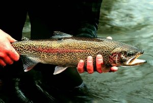 Hands holding a long rainbow trout.