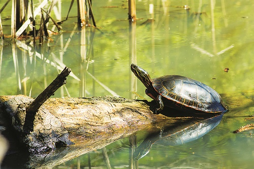 Surprisingly spry, western painted turtles hide out in many eastern Washington ponds. Photo: Aaron Theisen