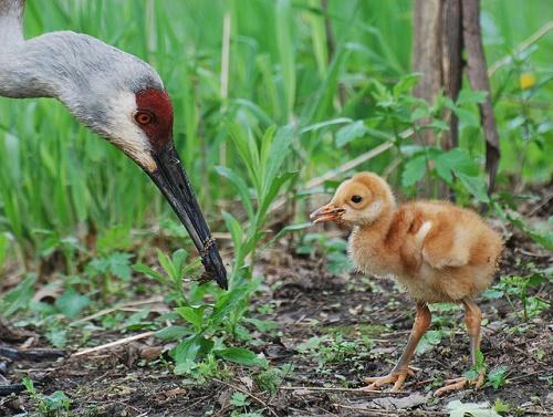 Sandhill crane family. Photo: Joshua Mayer, Creative Commons license