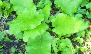Burdock leaf. Photo courtesy of Shastared