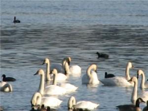 Tundra swans swimming on a lake.