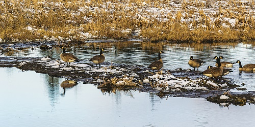 Geese fill the ponds of Turnbull National Wildlife Refuge near Cheney with their cacophonous honking. Photo: Aaron Theisen