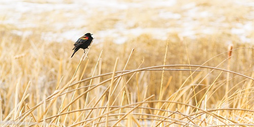 A variety of songbirds use the shoreline grasses and reeds of area wetlands to hunt insects and keep an eye on predators. Photo: Aaron Theisen