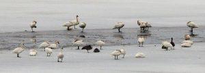 swans on iceWEB