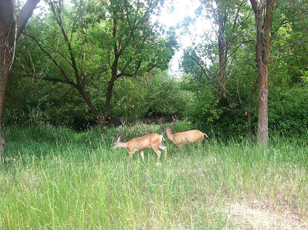 Two deer bucks enjoy vernal pools. grassy wooded area of Drumheller Springs Natural Park in Spokane.