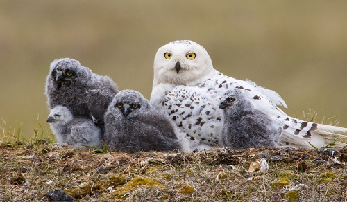 Snowy Owls lay eggs over many days, usually with a day or more between each, resulting in youngsters of various ages, a hedge when food is unpredictable. Photo courtesy of Paul Bannick
