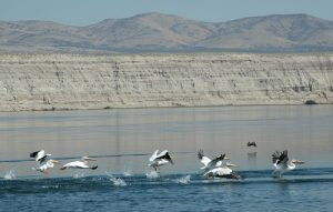 Pelicans in the Hanford Reach near the White Bluffs. Photo: John Roskelley