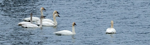 Swans up closeweb