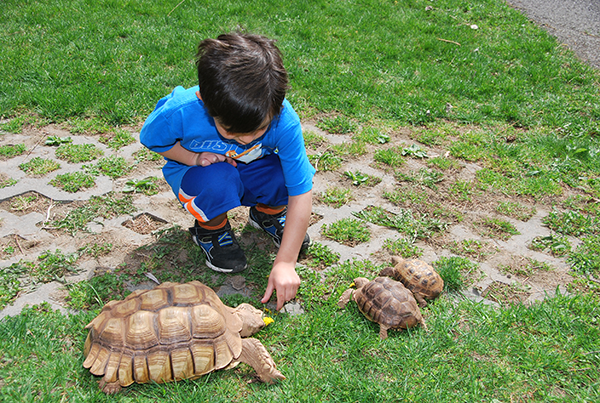 Young boy observing a large brown tortoise eat a dandelion on the grass, with two smaller tortoises nearby.