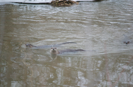 Photo of river otters by Kyle Merritt.