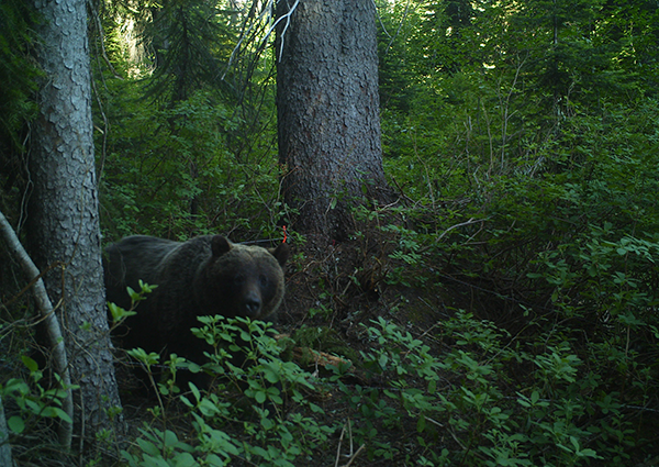 Photo of grizzly bear courtesy of Conservation Northwest.