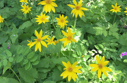 Photo of Arnica flowers by Suzanne Tabert.