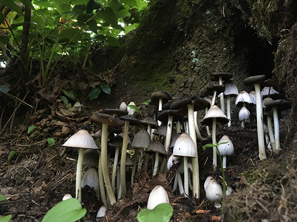 Photo of inky caps by Leah Bendlin.