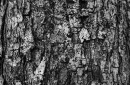 Close up of Pine bark.