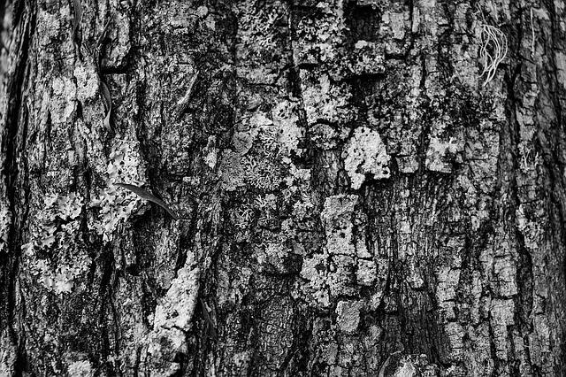 Close up of Pine bark.