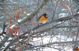 Photo of a varied thrush by Tina Wynecoop.
