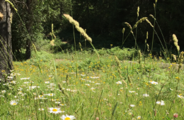 Photo of field with daisies.