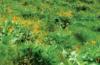 Photo of arrowleaf balsamroot in bloom on Colville Mountain.