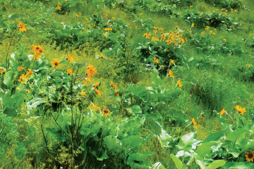 Photo of arrowleaf balsamroot in bloom on Colville Mountain.