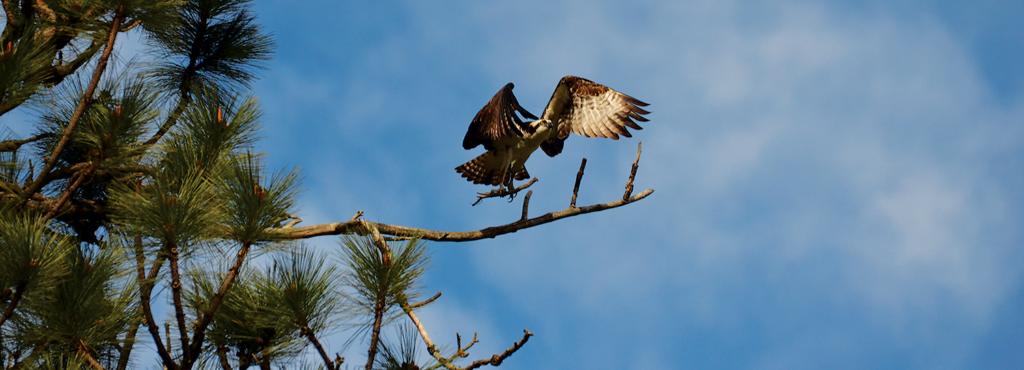 Photo of male osprey landing on branch.