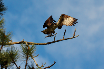 Photo of male osprey landing on branch.