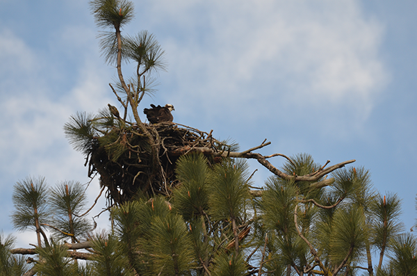 Photo of osprey in nest.