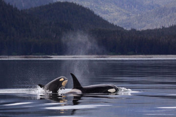 Photo of a mother and calf orca whale.