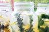Herbal lemonade in mason jars.