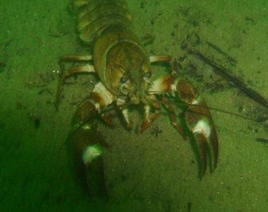 Underwater photo of lobster.