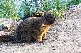 Photo of marmot on the Spokane River shore.