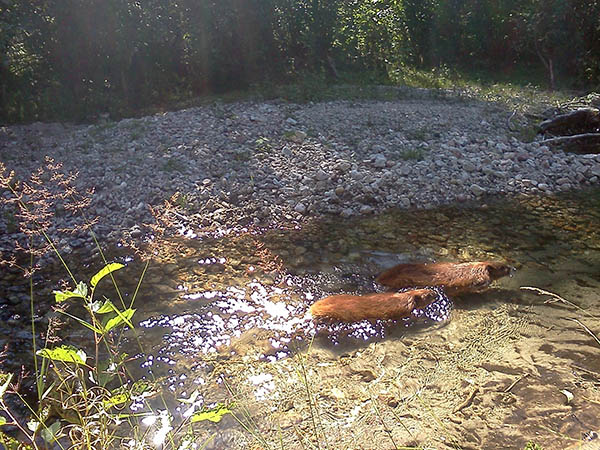 Photo of beavers swimming in the river.