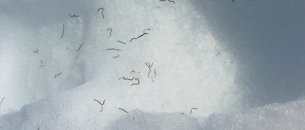 Photo of ice worms on snow.