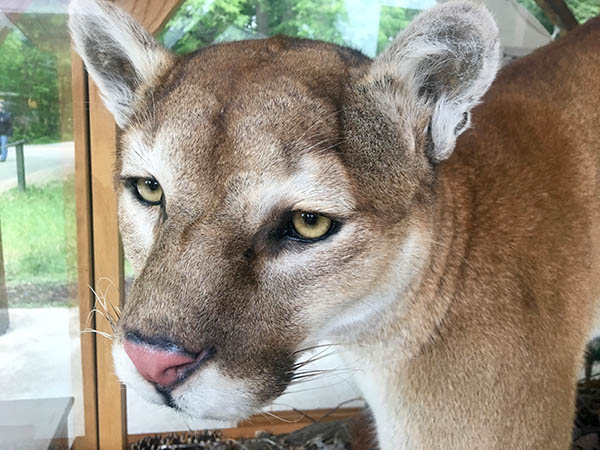 Photo of mountain lion.