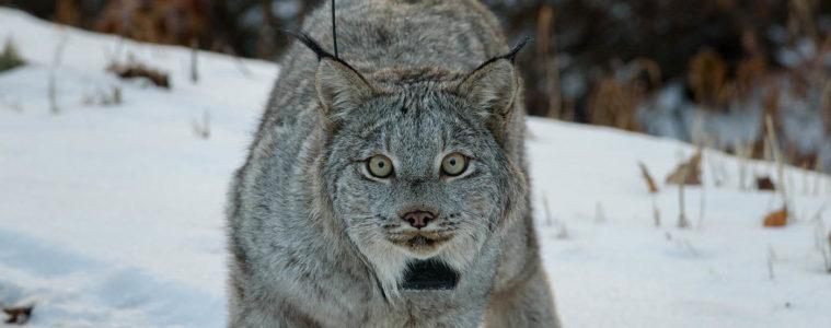 Photo of lynx.