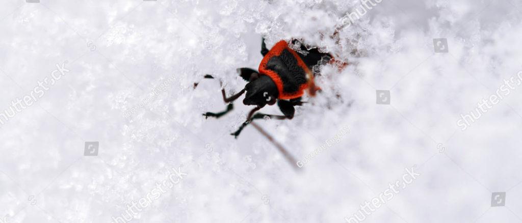 Photo of the firebug, Pyrrhocoris Apterus, after the winter thaw.