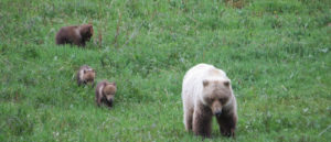Grizzly mama and cubs roam free in Denali National Park.