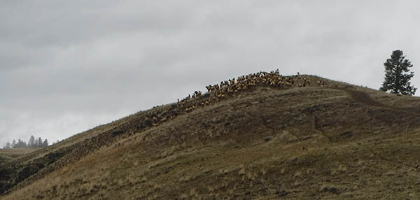 Photo of a herd on top of a small hill.