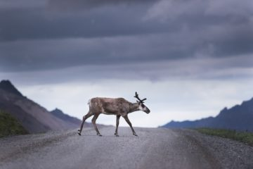 Photo of caribou crossing the road with mountains in the background.