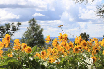 Photo of arrowleaf balsamroot on Antoine Peak.