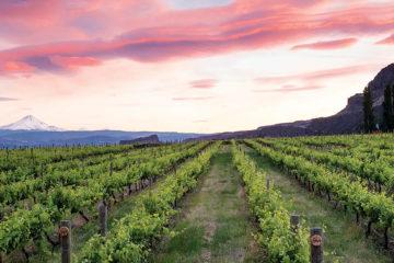 Photo of vineyards at sunset.