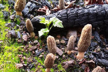 Photo of morel mushrooms growing in the wild.